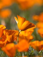 Detail Of Golden California Poppy In Antelope Valley Fine Art Print