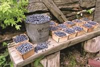 Blueberries Picked Fine Art Print