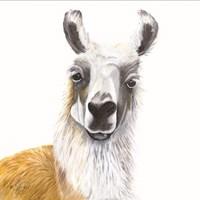 Alpaca Fine Art Print
