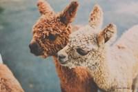 Baby Alpacas Fine Art Print