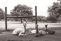 Alpaca Family Fine Art Print
