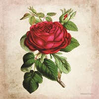 Vintage Red Rose Fine Art Print