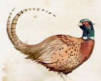 Pheasantry I Framed Print