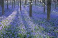 Bluebell Dreams II Fine Art Print