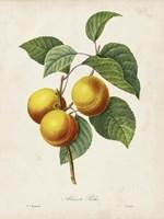 Redoute's Fruit I Fine Art Print