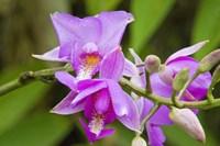 Wild Orchid, Cloud Forest, Upper Madre De Dios River, Peru Fine Art Print