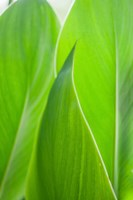 Canna Leaf Close-Up 1 Fine Art Print