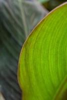 Canna Leaf Close-Up 2 Fine Art Print