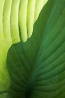 Hosta Leaf Detail 2 Fine Art Print