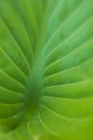 Hosta Leaf Detail 3 Fine Art Print