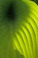 Hosta Leaf Detail 4 Fine Art Print