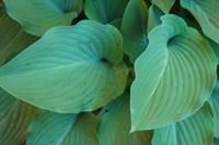 Hosta Leaf Detail 5 Fine Art Print