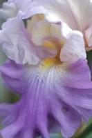 Pale Lavender Bearded Iris Close-Up Fine Art Print