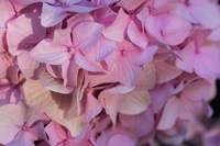 Pink Hydrangea Blossom 1 Fine Art Print