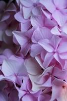Pink Hydrangea Blossom 2 Fine Art Print