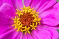 Hot Pink Zinnia Flower Fine Art Print