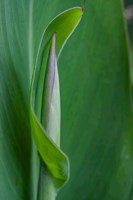 Canna Leaf Bud Fine Art Print