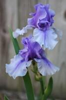 Lavender Iris 2 Fine Art Print
