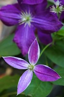 Purple Clematis Flowers 1 Fine Art Print