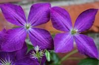 Purple Clematis Flowers 2 Fine Art Print