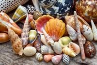 Tropical Shell Still-Life 2 Fine Art Print