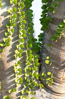 Madagascar Spiny Forest, Anosy - Ocotillo Plants With Leaves Sprouting From Their Trunks Fine Art Print