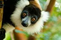 Madagascar, Lake Ampitabe, Headshot Of The Showy Black-And-White Ruffed Lemur Fine Art Print