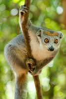 Madagascar, Lake Ampitabe, Female Crowned Lemur Has A Gray Head And Body With A Rufous Crown Fine Art Print