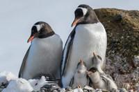 Antarctica, Antarctic Peninsula, Brown Bluff Gentoo Penguin With Three Chicks Fine Art Print