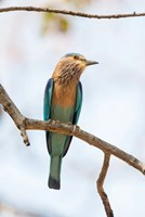 India, Madhya Pradesh, Bandhavgarh National Park An Indian Roller Posing On A Tree Branch Fine Art Print