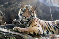 India, Madhya Pradesh, Bandhavgarh National Park A Young Bengal Tiger Resting On A Cool Rock Fine Art Print