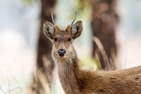 India, Madhya Pradesh, Kanha National Park Headshot Of A Young Male Barasingha Fine Art Print