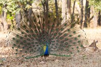 India, Madhya Pradesh, Kanha National Park A Male Indian Peafowl Displays His Brilliant Feathers Fine Art Print