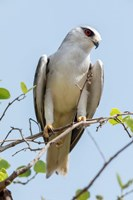 India, Madhya Pradesh, Kanha National Park Portrait Of A Black-Winged Kite On A Branch Fine Art Print