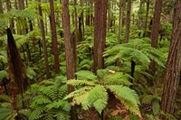 Redwoods Treewalk At The Redwoods, Rotorua, North Island, New Zealand Fine Art Print