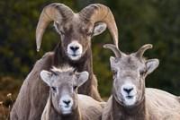 Alberta, Jasper Bighorn Sheep Ram With Juveniles Fine Art Print