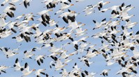 British Columbia Reifel Bird Sanctuary, Snow Geese Flock In Flight Fine Art Print