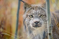 Yukon, Whitehorse, Captive Canada Lynx Portrait Fine Art Print