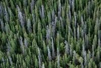 Yukon, Kluane National Park Mix Of Living And Dead White Spruce Trees Fine Art Print
