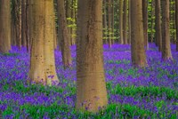 Europe, Belgium Hallerbos Forest With Trees And Bluebells Fine Art Print