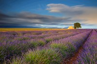 France, Provence, Valensole Plateau Lavender Rows And Farmhouse Fine Art Print