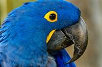 Blue Hyacinth Macaw, Anodorhynchus Hyacinthinus Fine Art Print