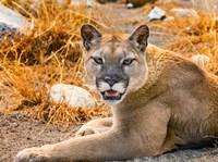 Mountain Lion, Cougar, Puma Concolor Fine Art Print