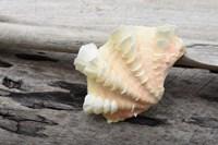 Ruffled Clam Shell - Tridacna Squamosa Fine Art Print