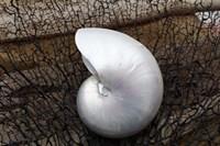Whole Pearl Nautilus Shell Fine Art Print