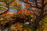 Argentina, Los Glaciares National Park Lenga Beech Trees In Fall Fine Art Print