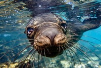 Galapagos Islands, Santa Fe Island Galapagos Sea Lion Swims In Close To The Camera Fine Art Print