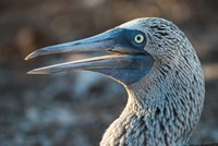 Galapagos Islands, North Seymour Island Blue-Footed Booby Portrait Fine Art Print
