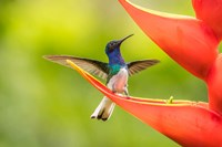 Costa Rica, Sarapiqui River Valley, Male White-Necked Jacobin On Heliconia Fine Art Print