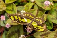 Costa Rica, La Paz River Valley Captive Butterfly In La Paz Waterfall Garden Fine Art Print